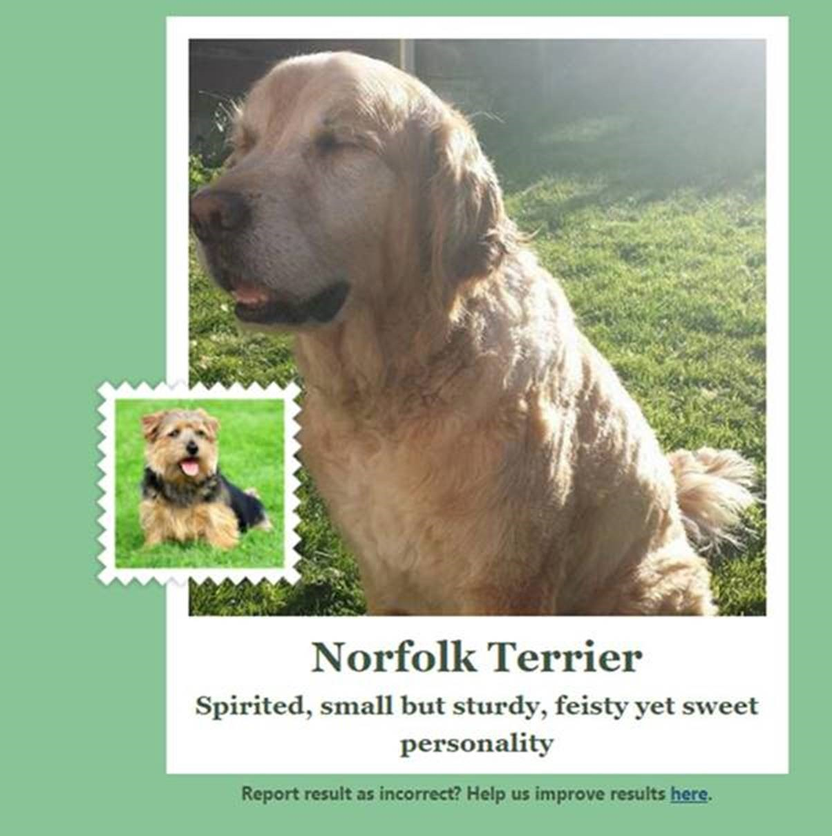 A Golden Retriver incorrectly identified as a Norfolk Terrier